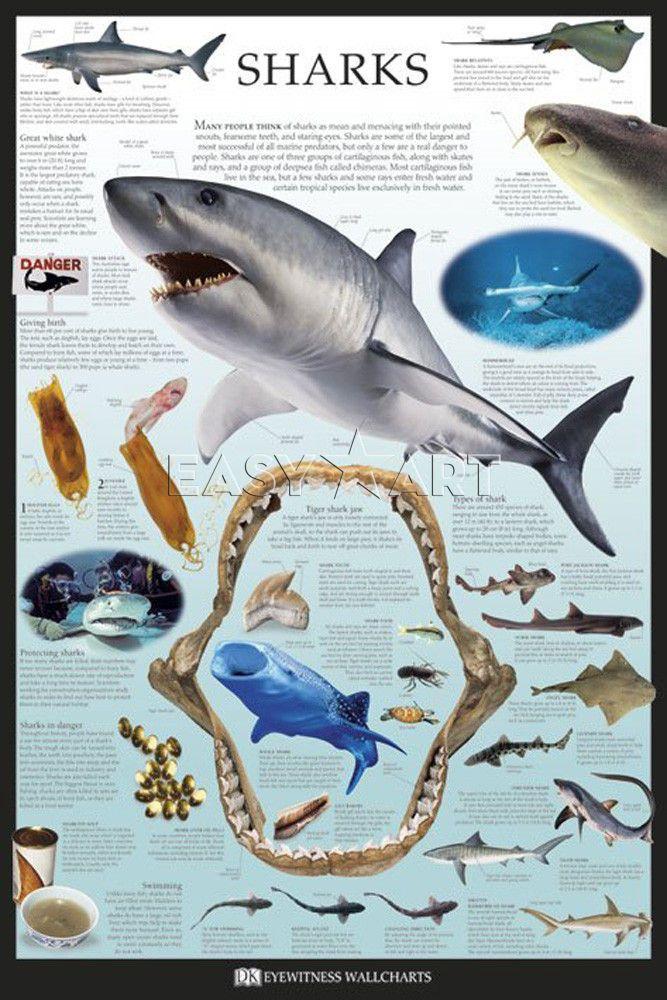 Shark for Sale : Sharks Posters for Sale - Easyart.com Ocean Infographics Pinterest