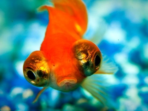 Bubble Eye Goldfish ~ For The Love of Pets Pinterest