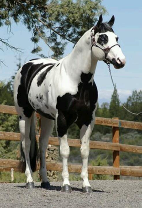 Black and white pinto horse - photo#24