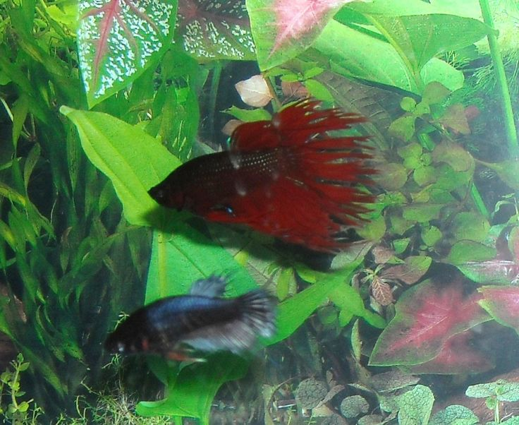 How to cure betta fish diseases for Fish diseases pictures
