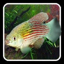 American Flag Fish Waterworld Pinterest