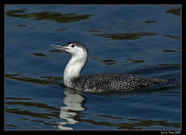 Red-throated Loon (Gavia stellata) - winter adult Red Throated Loon
