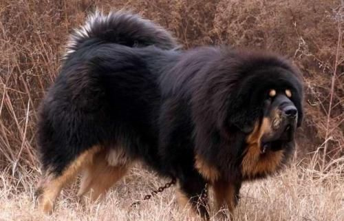 Tibetan mastiff price in usa tibetan mastiff puppies for sale