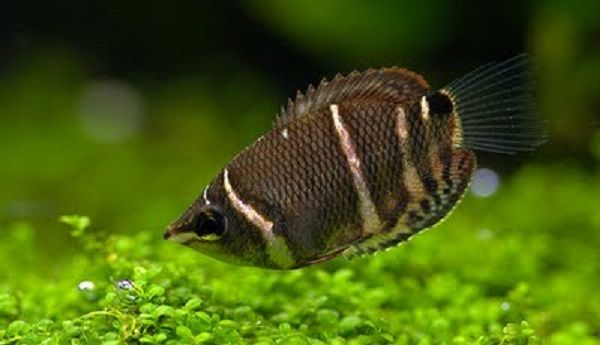 Chocolate Gourami fish Tropical Fish Pinterest