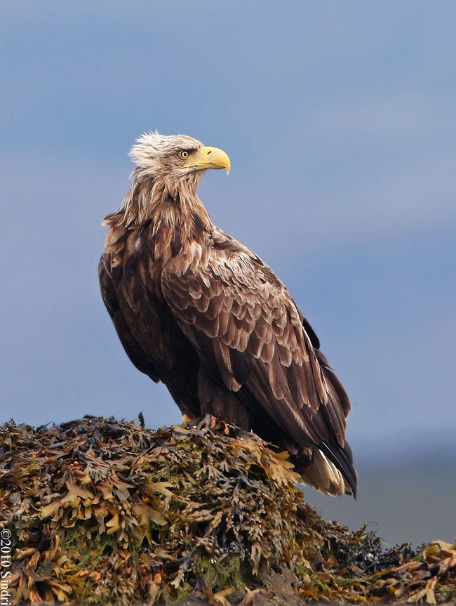 Juvenile Bald Eagle? | Animals and Insects | Pinterest