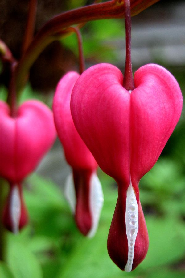 bleeding heart | flowers | Pinterest