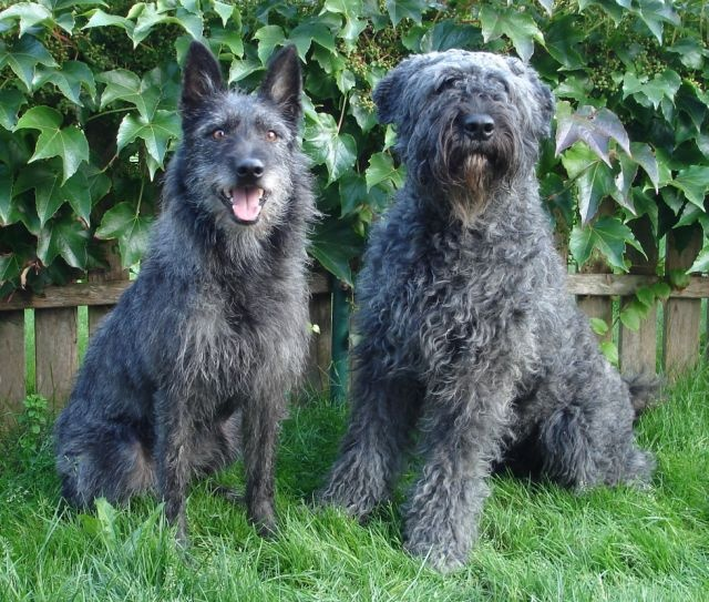 Bouvier des Ardennes
