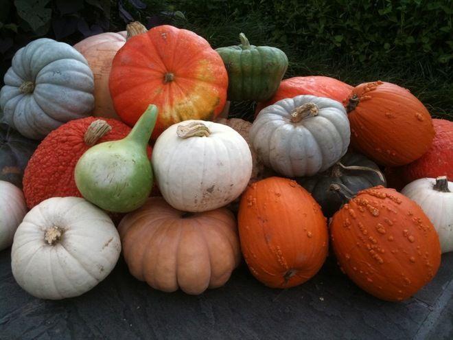 Growing pumpkins gardening pinterest for Best pumpkins to grow
