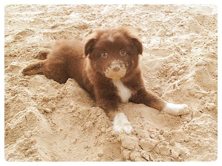 Pin Red Tri Mini Aussie Puppies on Pinterest