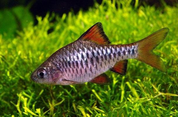 Checker barb, Puntius oligolepis Fish I want to own someday ...