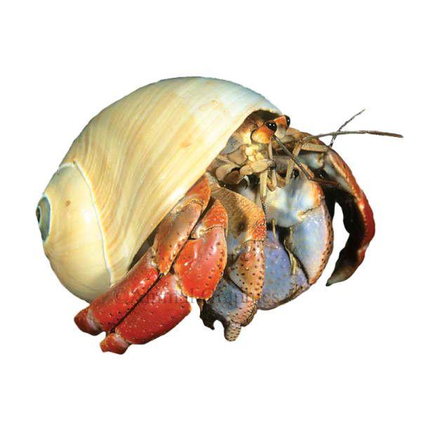 giant freshwater crab - photo #37