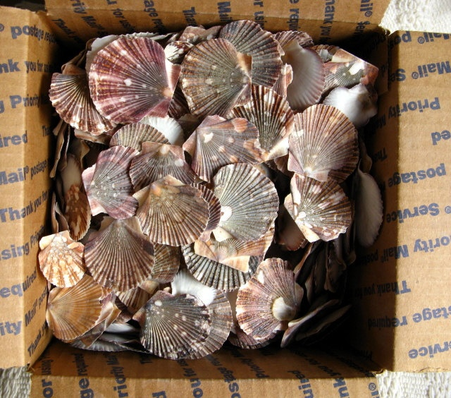 Pin by cas navey on beach xmas ideas pinterest - Scallop shells for crafts ...