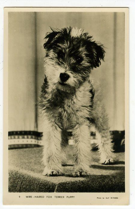 1930s / 1940s Guy Withers WIRE HAIRED FOX TERRIER vintage photo postcard