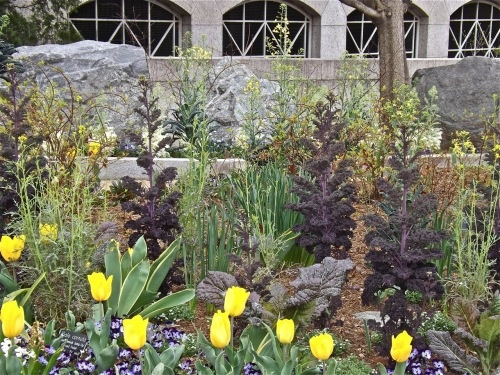 Ornamental kale and mustard with tulips and violas at the Smithsonian in March.