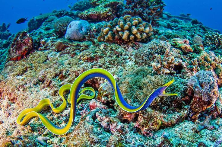 Ribbon moray eel - photo#16