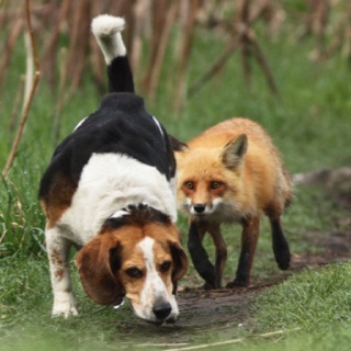 real life fox and hound