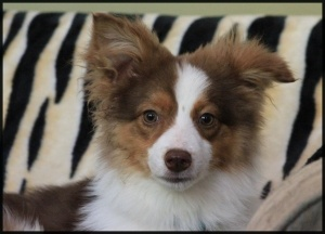 I need a home! My name is Fyre. I'm available through Hull's Haven Border Collie Rescue in Manitoba, Canada.