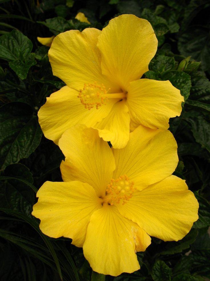 Yellow Hibiscus | Flowers | Pinterest