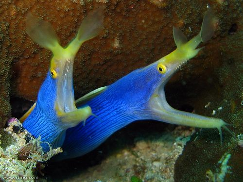 Ribbon moray eel - photo#13