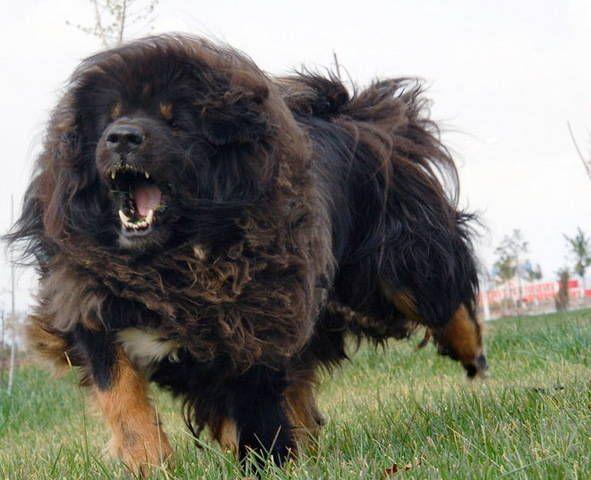 Half Dog Half Lion Tibetan mastiff-half dog half
