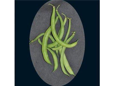 black valentine bean seed