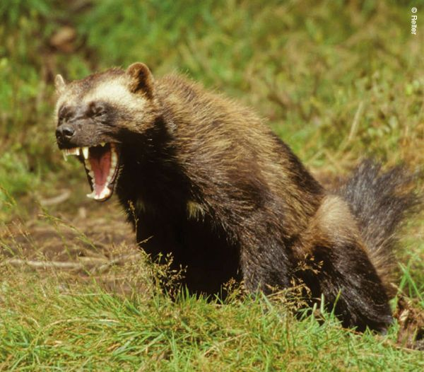 wolverine honey badger or tasmanian devil millarworld