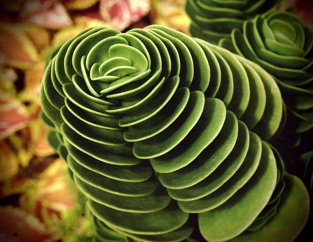 Cool succulent succulents pinterest - Cool succulent plants ...