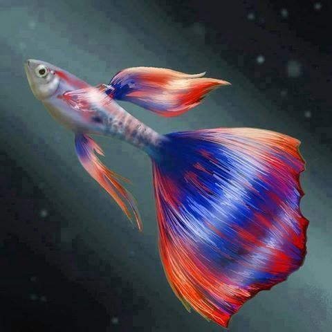 Fancy fantail guppy colours pinterest for Koi fish tail