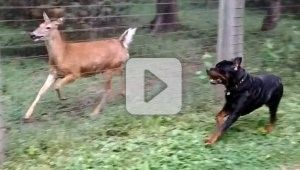 Dog and Deer Playmates - A happy Rottweiler makes a new (and unusual) friend. See what happens when a dog and a deer meet each other through the fence, it was love at first sight. They may have their differences, but nothing can stop them from enjoying each other's company. This is so cute!