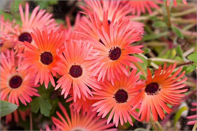 Mesembryanthemum bellidiformis, Livingstone Daisy flower
