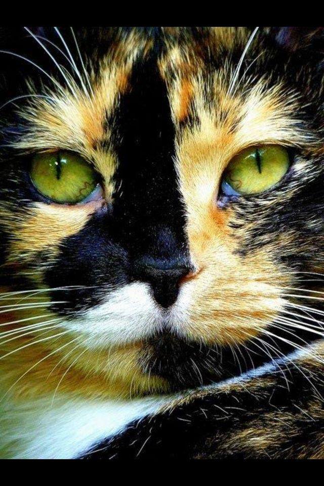 Tortoise shell cat | Animals to Love | Pinterest