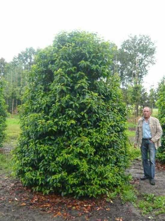prunus lusitanica 39 angustifolia 39 trees shrubs pinterest. Black Bedroom Furniture Sets. Home Design Ideas