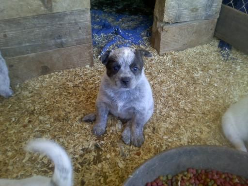 Queensland Heeler Dog Rescue California   Dog Breeds Picture