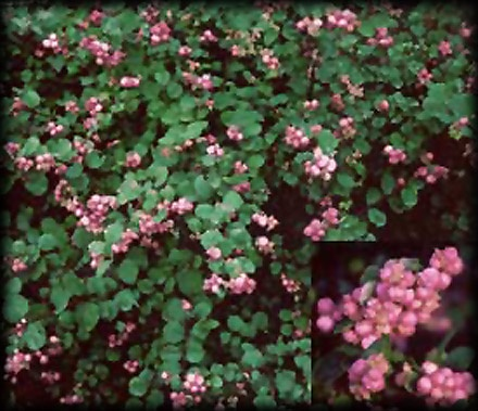Symphoricarposxdoorenbosii Magic Berry Indian Current My Trees And Plants Pinterest