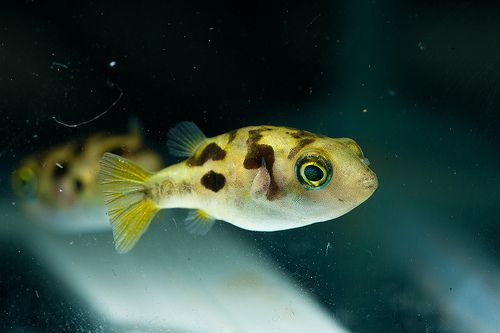 Indian dwarf puffer. We have a couple and they are so cute. Only grow ...