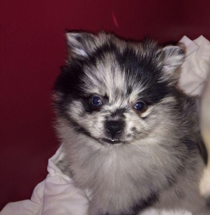 Blue Merle Pomeranian puppy   Blue Merle Pomeranians! :D ...