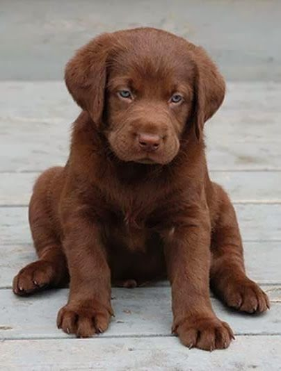 labrador. I want one
