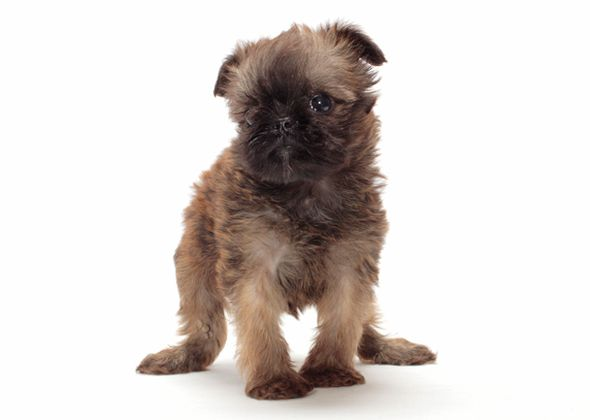 Here are 11 small, cute dog breeds with huge personalities, including ...