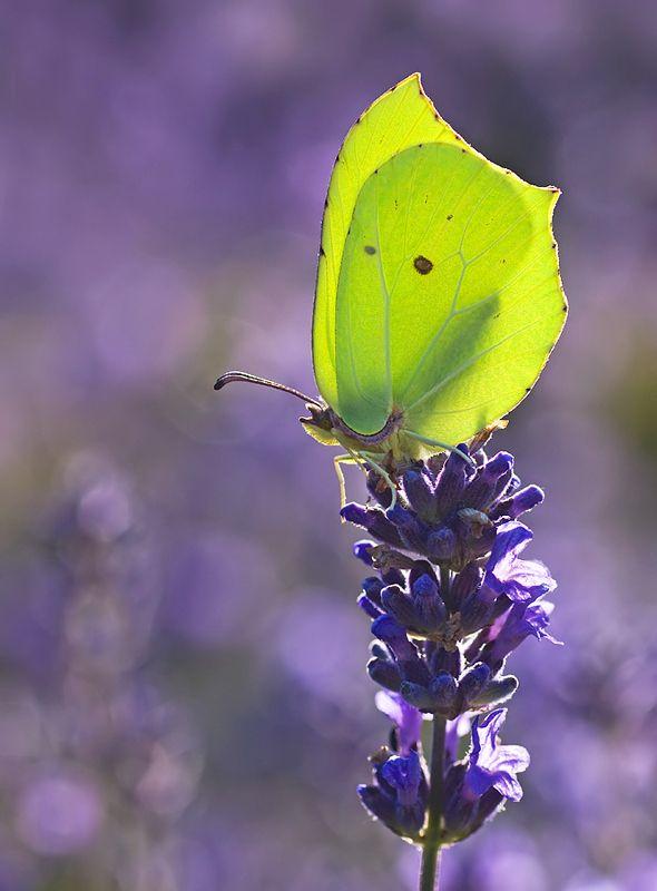 Male Brimstone butterfly amongst the Lavenders