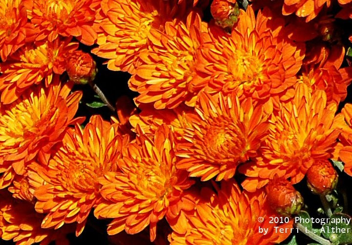 orange mums fall flowers orange and gray wedding