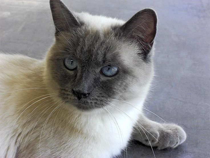 ♥CG152 Siamese-Blue Point | BLUE POINT SIAMESE CATS ...