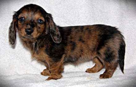brindle dachshund - Google Search | Animals | Pinterest