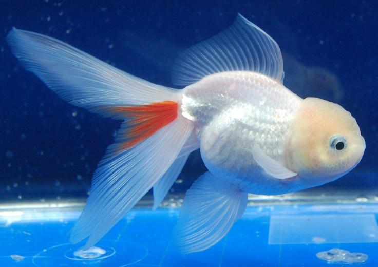 Oranda (Gold Fish) Aquariums Pinterest