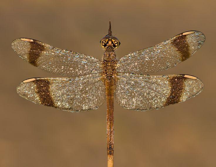 Banded Darter anisoptera, yusufcuk, dragonfly, k?z b?cekleri ...