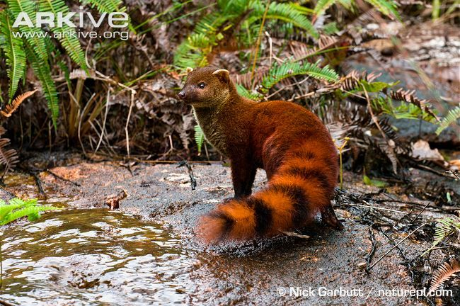 Malagasy ring-tailed mongoose by waterRing Tailed Mongoose