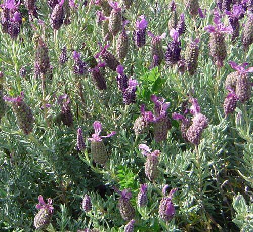 Lavanda plantas aromaticas, cura y cultivo y propriedades