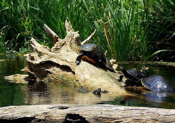 River turtles sunning and enjoying cold water spring, Florida Print ...