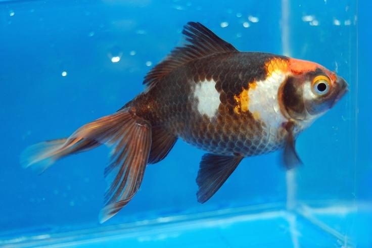 Goldfish koi goldfish pinterest for Koi vs goldfish
