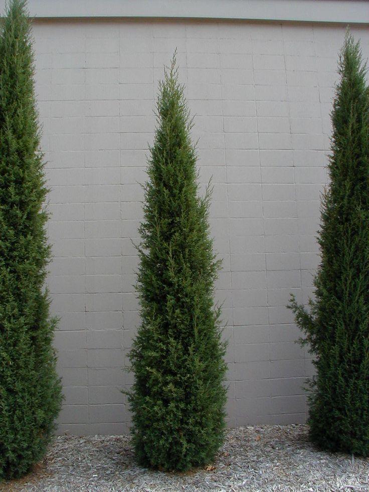 The taylor juniper in the garden pinterest for Tall evergreen shrubs