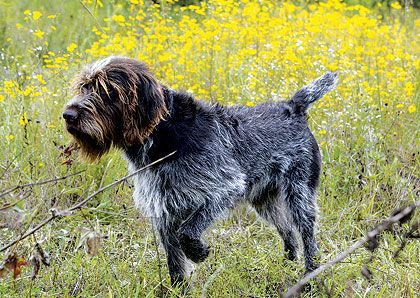 Wirehaired Pointing Griffon. If my next dog isn't a Golden Retriever ...